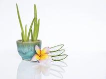 芦荟蓝色陶瓷罐的维拉植物有新切片的和羽毛开花 免版税库存照片