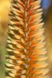 芦荟龙舌兰桔子花被弄脏的宏指令  库存照片