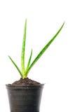 芦荟维拉植物词根 库存照片