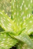 芦荟维拉植物词根 库存图片
