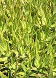 芦荟从自然的维拉植物。 库存照片