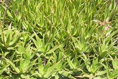 芦荟从自然的维拉植物。 免版税库存照片