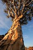 芦荟dichotoma纳米比亚颤抖结构树 免版税库存照片