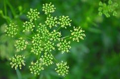 芫荽子,在木背景的新鲜的绿色香菜叶子 库存照片