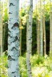 芬兰桦树森林 免版税图库摄影