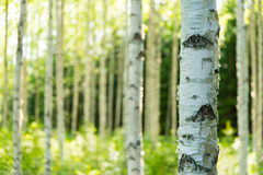 芬兰桦树森林 免版税库存照片