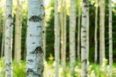 芬兰桦树森林 免版税库存图片