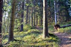 芬兰森林绕道路穿过茂盛植物 免版税库存照片
