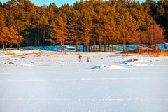 芬兰湾的冬天海岸 杉木森林 库存照片
