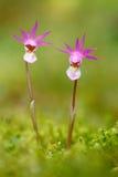 从芬兰的野生兰花 加力骚曲bulbosa,美丽的桃红色兰花 开花的欧洲地球野生兰花,自然栖所, deta 图库摄影