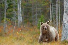 从芬兰的野生生物场面在更加大胆的俄罗斯附近 有熊的秋天森林 走在有秋天colo的湖附近的美丽的棕熊 免版税库存照片