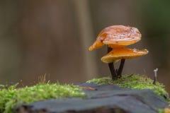 芬兰蘑菇 免版税库存图片