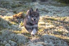芬兰lapphund小狗 免版税库存图片