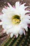 芬芳开花的仙人掌 图库摄影