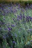 芬芳淡紫色的新领域 库存图片