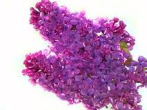 芬芳淡紫色花蕾在紫色树荫下  免版税库存图片