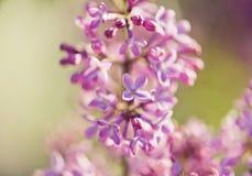 芬芳淡紫色开花(寻常的紫丁香属植物)。 免版税库存图片