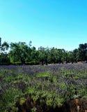芬芳淡紫色的膨胀的领域在Solvang,加利福尼亚附近的 库存照片