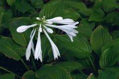 芬芳玉簪属植物 免版税库存照片