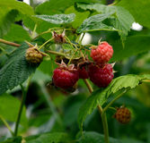 芬芳红色莓果 库存照片