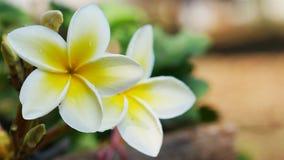 芬芳茉莉花和美丽 免版税库存照片