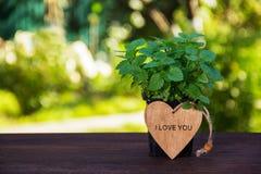 年轻芬芳薄菏和木心脏灌木  在绿色自然本底的有机薄菏 复制空间 图库摄影