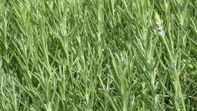 芬芳辣草的迷迭香 库存图片