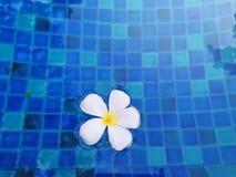 芬芳鸡蛋花花植物的白色瓣挥动的生动的土耳其玉色水在游泳场 库存图片