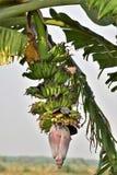 芭、花、芽和香蕉束 免版税库存照片