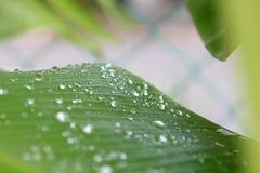 芭蕉科sp 有水滴下落露水的香蕉叶子 图库摄影