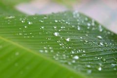芭蕉科sp 有水滴下落露水的香蕉叶子 库存照片