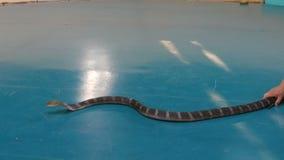 芭达亚,泰国- 2018年1月17日:更加温驯的蛇在竞技场驯服皇家眼镜蛇、共同的眼镜蛇和Python 影视素材