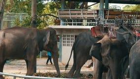 芭达亚,泰国- 2017年12月30日:许多不同的印度象在鳄鱼农场的瓦列里附近走在芭达亚 影视素材