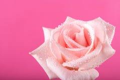 花上升了与露水下落在桃红色背景的 免版税库存照片