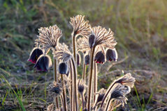 花与背后照明的Pasque特写镜头毛茸的灌木在狂放 免版税库存照片