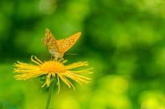 花与蝴蝶Argynnis aglaja的Telekia speciosa 库存照片