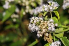 绣花丝绒花或白色藿香蓟属Houstonianum或猫脚或者我 免版税图库摄影