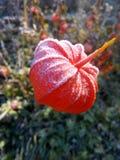 花会开蓝色钟形花的草宏观红色 免版税库存照片