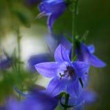 花会开蓝色钟形花的草 库存图片