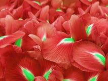 花使红色现虹彩 背景美丽的刀片花园 特写镜头 自然 免版税库存照片