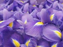 花使紫色现虹彩 背景美丽的刀片花园 特写镜头 库存图片