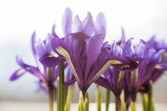 花使紫色现虹彩 库存图片