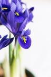 花使紫色现虹彩 图库摄影
