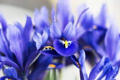 花使紫色现虹彩 免版税库存图片