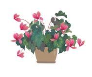 花例证罐向量 cyclamen粉红色 backfround开花在家查出在白色 库存例证