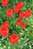 花充分的庭院红色郁金香 免版税库存图片