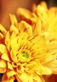 花充满活力的黄色 库存照片