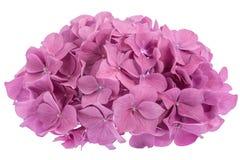 花八仙花属粉红色 免版税库存图片