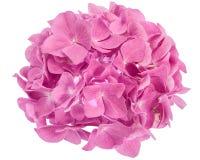 花八仙花属粉红色 图库摄影