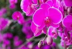 花兰花兰花植物粉红色 免版税库存图片